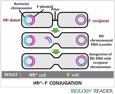 Hfr-F- conjugation