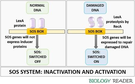 Inactivation and activation of SOS response