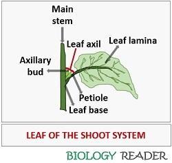 Leaf of shoot system