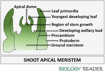 Shoot apical meristem