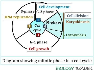 cell cycle showing mitotic phase