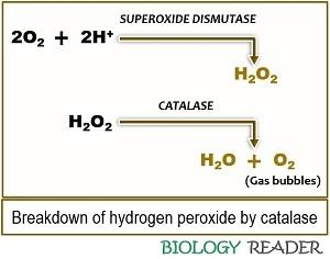 hydrogen peroxide breakdown by catalase