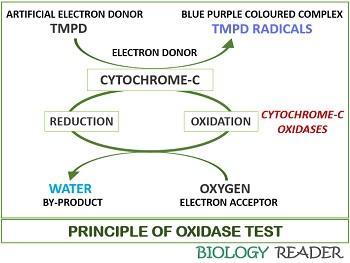 principle of oxidase test