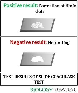 slide coagulase test