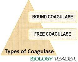 types of coagulase