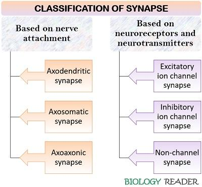 Classification of Synapses