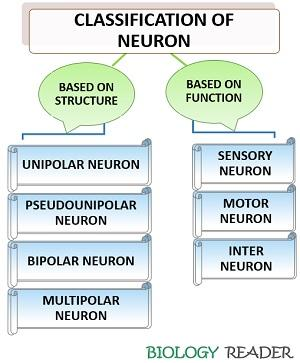 Classification of neuron