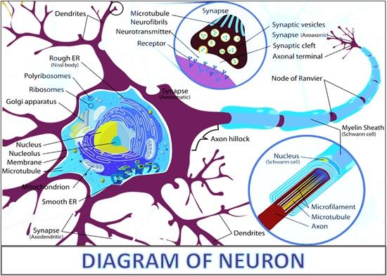 Diagram of neuron
