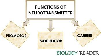 Functions of neurotransmitter