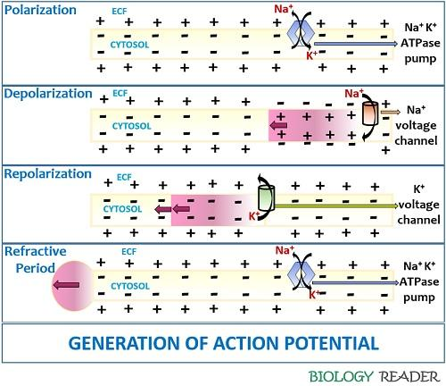 Generation of Action Potential