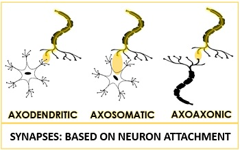 Synapse based on neuron attachment