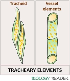 Tracheary elements