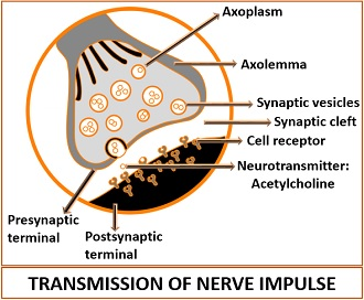 Transmission of Nerve Impulse