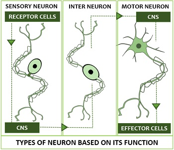 Types of Neuron Based on Function