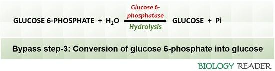 bypass step-3 of neoglucogenesis
