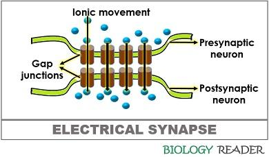 electrical synapse