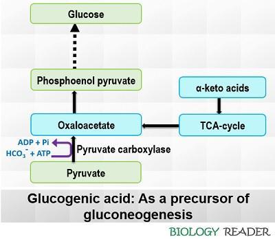 glucogenic acid as a precursor of neoglucogenesis