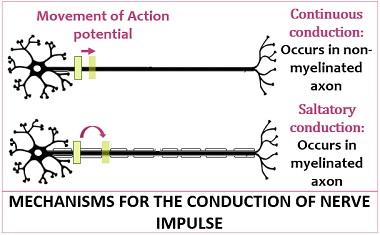 mechanism of nerve impulse conduction