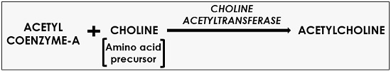 synthesis of acetylcholine