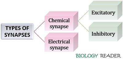 types of synapse