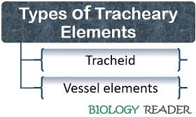 types of tracheary elements