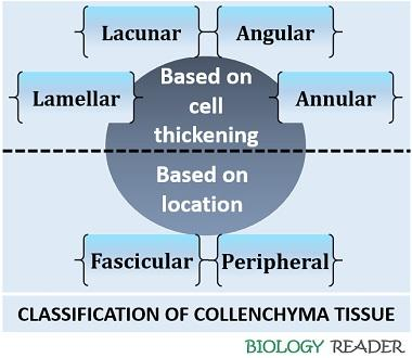 Classification of collenchyma