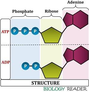 Structure of ATP and ADP