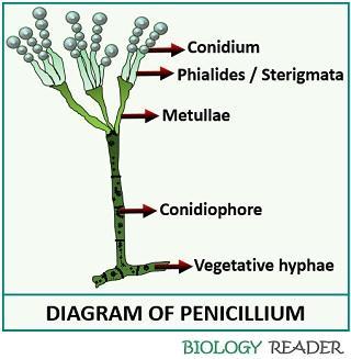 Structure of Penicillium