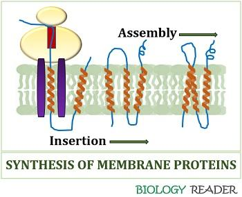 Synthesis and assembly of membrane proteins