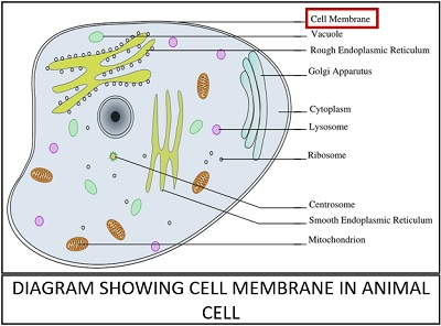 diagram showing cell membrane