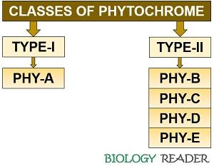 Classes of phytochrome