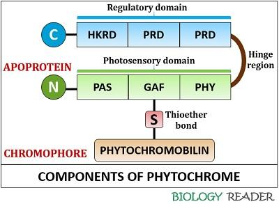 Components of phytochrome