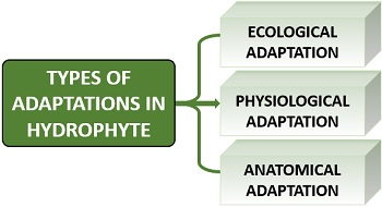 Types of adaptations in hydrophytes