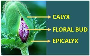 diagram showing calyx
