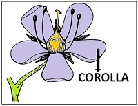 diagram showing corolla