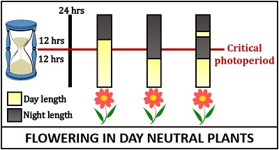 Photoperiodism in day-neutral plants