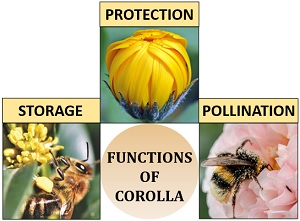 functions of corolla