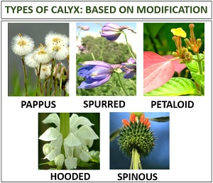 kinds of sepal based on modification