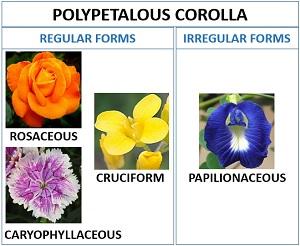 polypetalous corolla