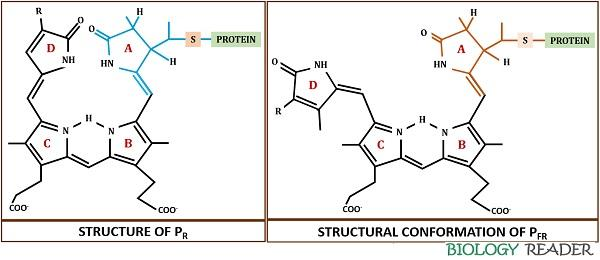 structural conformation of phytochrome