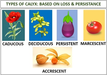 types of calyx based on loss & persistence