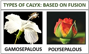 types of sepal based on fusion
