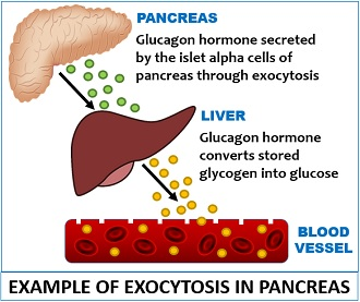Example of exocytosis in pancreas