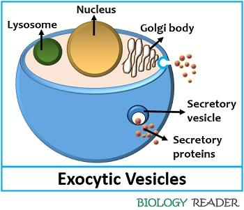 Exocytic or Secretory vesicles