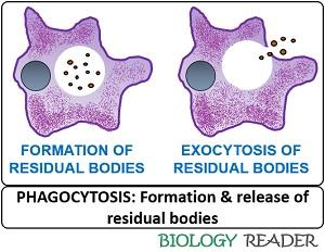 Formation of residual body and its release