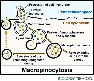 Macropinocytosis