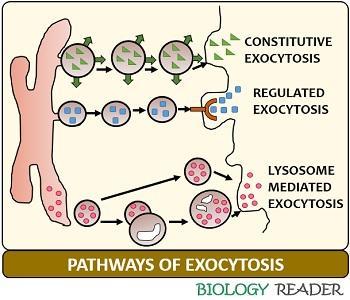 Pathways of exocytosis