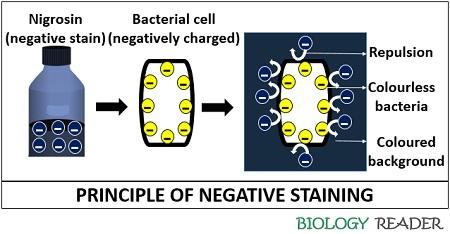 Principle of indirect staining