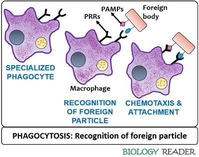 Recognition of antigen in phagocytosis