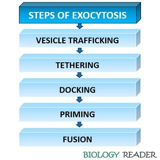Steps of exocytosis